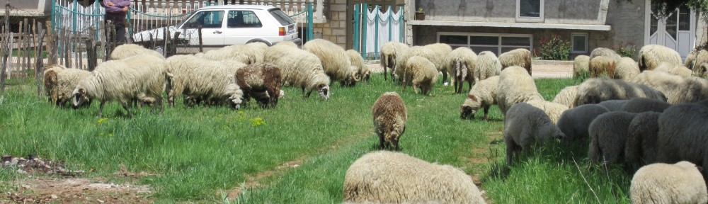 Sheep flocking to the empty lot on our street.